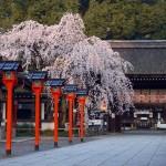 京都駅から、平野神社へのアクセス おすすめの行き方を紹介します