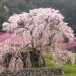 大阪駅や奈良駅から本郷の瀧桜(又兵衛桜)へのアクセス(行き方) おすすめの行き方を紹介します
