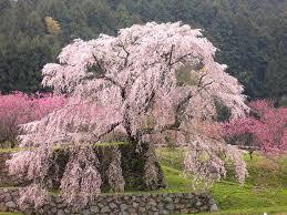 本郷の瀧桜(又兵衛桜)
