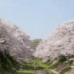 京都駅から、玉川堤の桜へのアクセス おすすめの行き方を紹介します